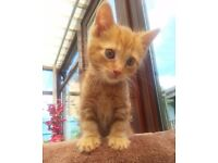 Beautiful affectionate ginger male kitten - playful and loves cuddles