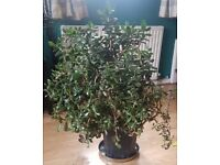 Large money plant (jade indoor house plant)