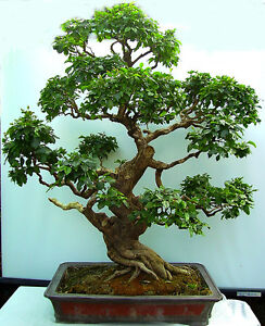 *CBG, Bonsai, Liguster, Ligustrum nitida, Indoor-Bonsai, sehr sehr alt! #272