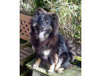 KC reg Pedigree Eurasier