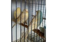 3 satinette canaries £30 each