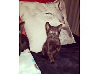 Beautiful Black Kittens!