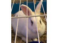 Dwarf white rabbit just under 1 year old.
