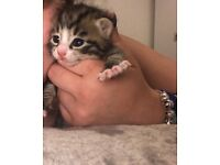 Beautiful tabby boy kitten with Bengal features