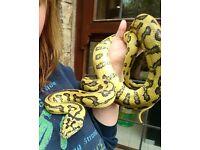 Jungle jaguar carpet python Inc full set up****