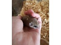 African pygmy dormouse