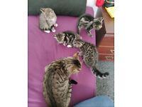 4 beautiful kittens Bengal
