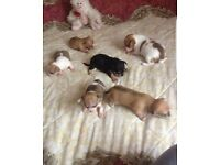 Chihuahua puppies absolutely beautiful very small
