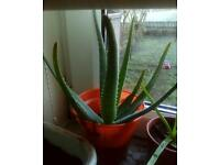 Aloe vera Barbadensis plant, 2years old,