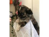 PUG (3/4) x SHIH TZU (1/4) gorgeous puppies