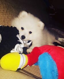 Beautiful Japanese Spitz Puppies **Ready To Go**