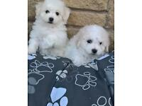 Bichon fraise pups
