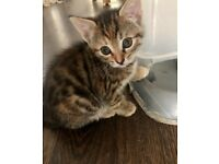 Female kitten looking for a forever home (part Bengal)