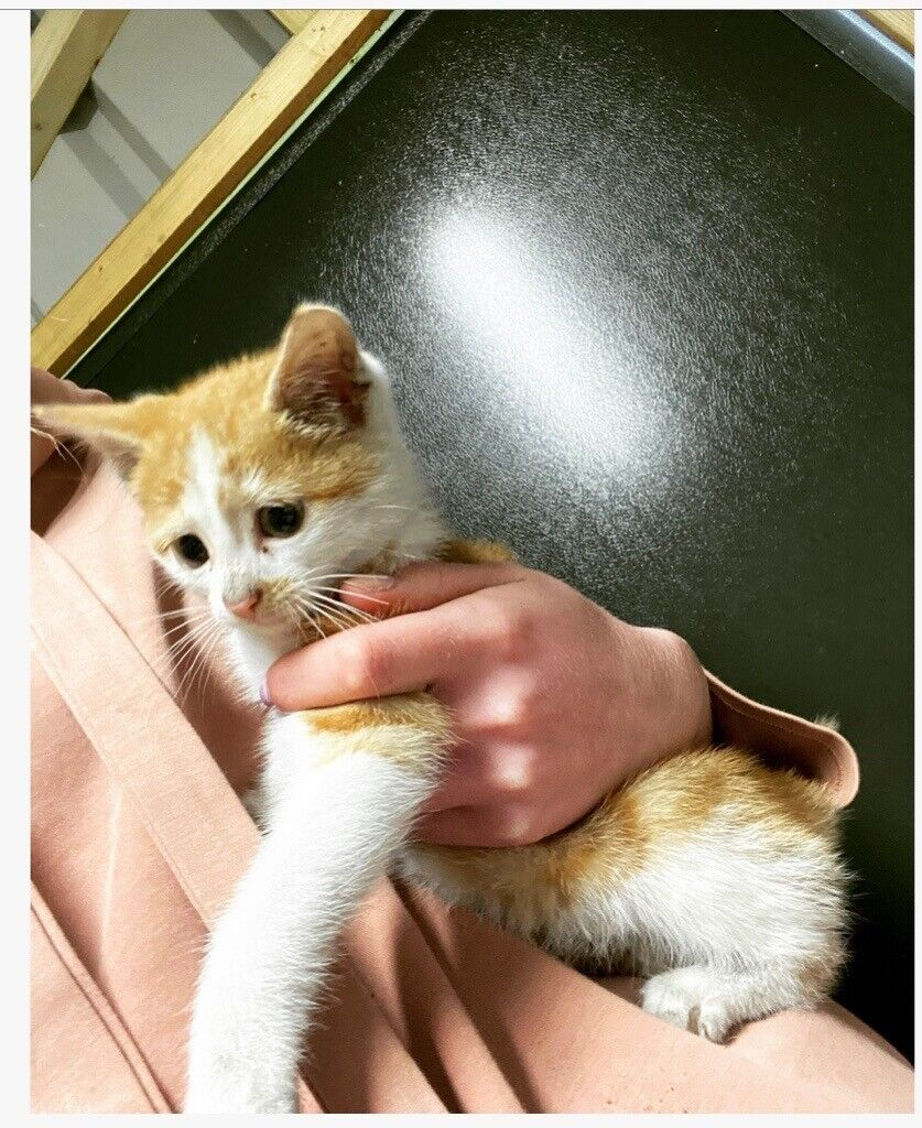 Gorgeous ginger & white kitten
