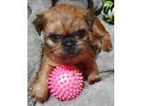 READY NOW! Pedigree, Chocolate, Imperial, Shih Tzu Puppies