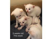 Siamese x BSH kittens - bred by Vet