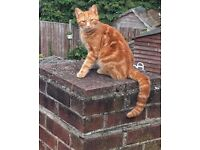 LOST / MISSING CAT CHINGFORD GINGER MALE
