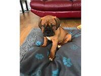 Dogue de Bordeaux pup French Mastiff