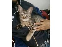 Beautiful 3 Month Old Tabby Kitten for FREE
