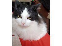 Missing cat named Frodo in Ferndown, Tricketts Cross