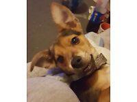 Jack Russell cross terrier puppy