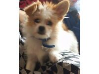 Pomeranian cross shih tzu 6 months old male
