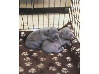 Staffordshire blue bull terrier bitches X 2 for sale