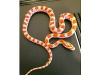 corn snake hatchling and set up