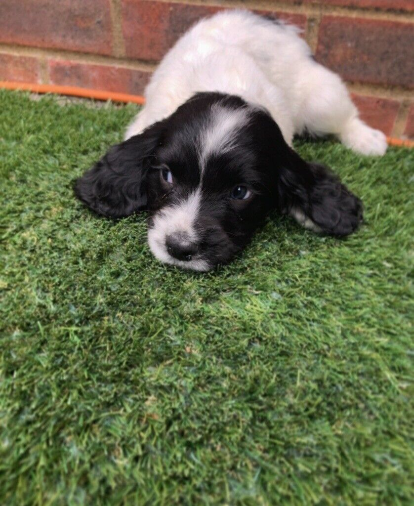 Beautiful Sprocker Spaniel Puppies For Sale | in Normandy, Surrey | Gumtree