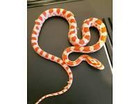 Corn snake hatchlings