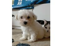 MALTESE PUPPIES (Only one boy left)