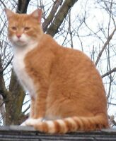 Lost Male Cat - April 5, 2013 - OPIE - Orange / White