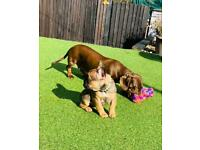 French bulldog Last girl available - excellent blood lines