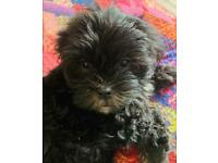 ALL NOW RESERVED Shih Tzu x puppies