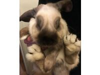 Brown and cream male lop eared rabbit