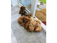 Gorgeous Cavapoo Puppies - Boys and Girls
