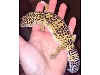 2x leopard geckos & vivarium
