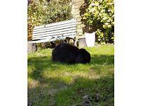 Missing Black lop-eared pet rabbit