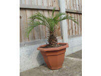 DWARF DATE PALM TREE