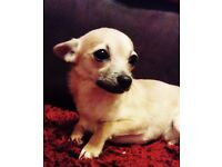 For sale chihuahua boy