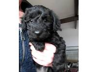 Gorgeous Little Schnoodle Puppy