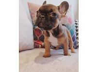 Beautiful Sable/Red French Bulldog Puppy For Sale
