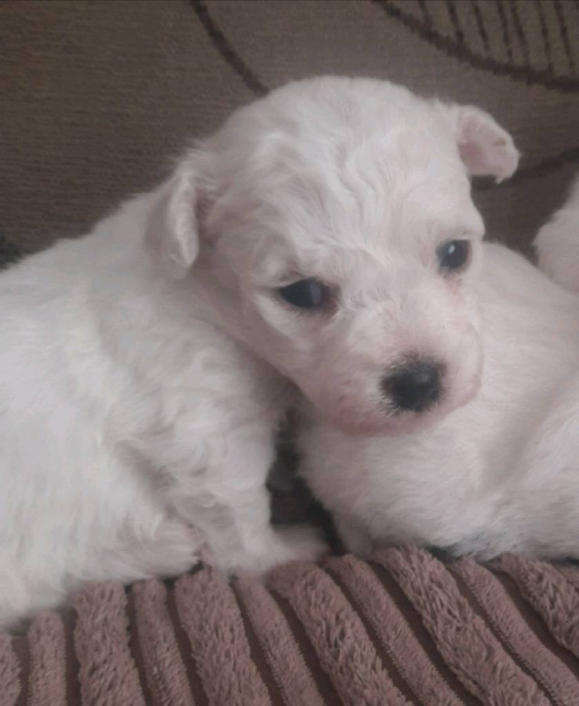 Bichon Frise pups for sale | in Coleraine, County Londonderry | Gumtree