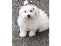 Selling Bichon Frise female
