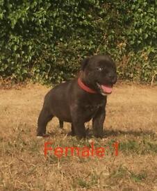 Kc Reg Black staff puppies for sale