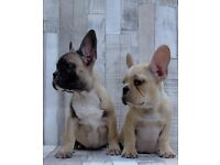 Cream And Fawn Kc Reg French Bulldog Puppies