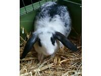 10 weeks old Female Mini Lop Rabbit