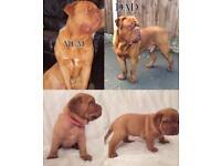 Chunky Dogue De Bordeaux Pups
