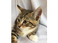 Cutest Bengal cross kittens