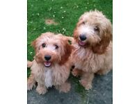 2 Lady cavapoo pups